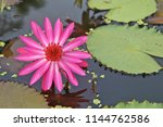 water lily with leaves on water   Shutterstock . vector #1144762586