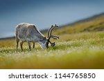reindeer  rangifer tarandus ... | Shutterstock . vector #1144765850