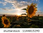 sunflowers at sunset | Shutterstock . vector #1144815290