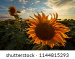 sunflowers at sunset | Shutterstock . vector #1144815293
