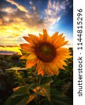sunflowers at sunset | Shutterstock . vector #1144815296