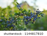 fresh organic blueberries on... | Shutterstock . vector #1144817810