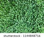 photo of a helxine soleirolii ... | Shutterstock . vector #1144848716
