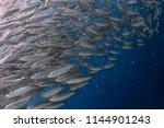 Stock photo school of sardines in moalboal philippines 1144901243