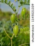 lentil plant growing close up.... | Shutterstock . vector #1145021339