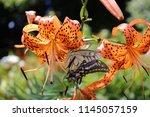 Swallowtail Butterfly Sucking...