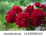 red peony herbaceous hybrid ... | Shutterstock . vector #1145058410