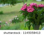 pink peony herbaceous hybrid ... | Shutterstock . vector #1145058413