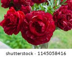 red peony herbaceous hybrid ... | Shutterstock . vector #1145058416