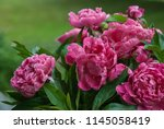 pink peony herbaceous hybrid ... | Shutterstock . vector #1145058419