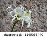 ismene deflexa flowering plant... | Shutterstock . vector #1145058440