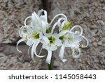 ismene deflexa flowering plant... | Shutterstock . vector #1145058443