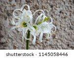 ismene deflexa flowering plant... | Shutterstock . vector #1145058446