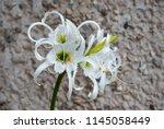 ismene deflexa flowering plant... | Shutterstock . vector #1145058449