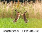 Stock photo mad hares boxing in a crop field in norfolk uk pair of wild animals fighting each other by 1145086010