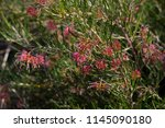 dainty small red grevillea... | Shutterstock . vector #1145090180
