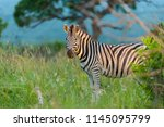plains zebra  also known as the ... | Shutterstock . vector #1145095799