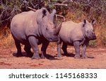 south africa  two endangered... | Shutterstock . vector #1145168333