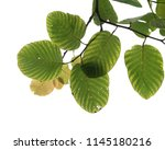 green leaf isolated | Shutterstock . vector #1145180216