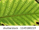 leaf pattern and texture closeup | Shutterstock . vector #1145180219