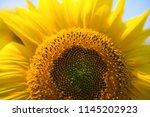 sunflower natural background ... | Shutterstock . vector #1145202923