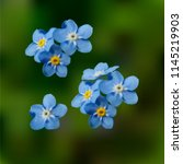 blue forget me not spring... | Shutterstock .eps vector #1145219903
