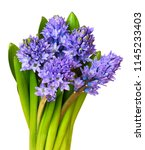 bouquet of blue hyacinth... | Shutterstock . vector #1145233403