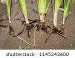 roots of the simplestem bur...   Shutterstock . vector #1145243600