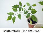 growing tomato plants in small... | Shutterstock . vector #1145250266