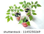 cultivation of young tomato... | Shutterstock . vector #1145250269