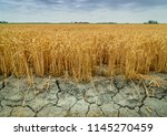 wheat crops suffer as drought... | Shutterstock . vector #1145270459