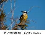the great kiskadee  pitangus... | Shutterstock . vector #1145346389