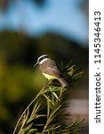 the great kiskadee  pitangus... | Shutterstock . vector #1145346413