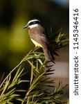 the great kiskadee  pitangus... | Shutterstock . vector #1145346416