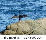 cormoran agitant ses ailes | Shutterstock . vector #1145397089