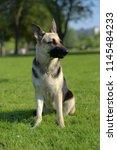 eastern european sheepdog sits... | Shutterstock . vector #1145484233