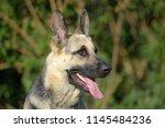 eastern european sheepdog sits... | Shutterstock . vector #1145484236