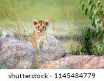 african lion cub   panthera leo ...   Shutterstock . vector #1145484779