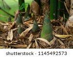 Bamboo Shoot  Bamboo Sprout