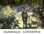 dinsho   ethiopia   june 2016 ...   Shutterstock . vector #1145554916