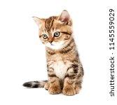 kitten isolated on a white... | Shutterstock . vector #1145559029