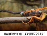 green iguana  also known as the ...   Shutterstock . vector #1145570756