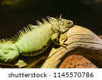 green iguana  also known as the ...   Shutterstock . vector #1145570786