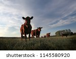 A Herd Of Angus Cattle In The...