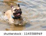 funny french bulldog terrified...   Shutterstock . vector #1145588969