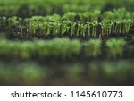 seeding in greenhouse. seeding... | Shutterstock . vector #1145610773