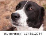 central asian shepherd puppy ...   Shutterstock . vector #1145612759