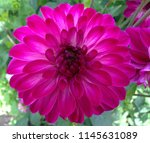 A Lovely Magenta Dahlia Flower...