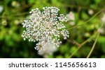 detailed daucus carota.... | Shutterstock . vector #1145656613