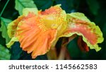 canna lily  also as known... | Shutterstock . vector #1145662583